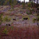 Ganado en la reserva india de Coville en Washington, USA. Foto de: Joseph Fortier, SJ