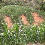 Deslizamientos de tierra en estas colinas llenas de maíz en Kanayan, Silae después dos tifones consecutivos, de diciembre de 2012. Foto de: P Walpole