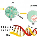 La modificación genética utiliza la biotecnología moderna para cambiar los genes de un organismo de manera no es posible a través de las técnicas de cultivo tradicionales, resultando en un organismo genéticamente modificado. Foto de: csiro.au