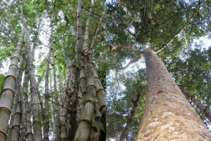 Giant bamboo and indigenous hardwood trees are sources of seedlings. Photo credits: P Walpole