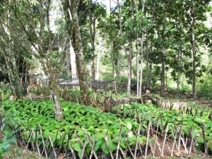 A nursery for caring for young tree seedlings grown from seeds picked from the forest floor. Photo credits: P Walpole