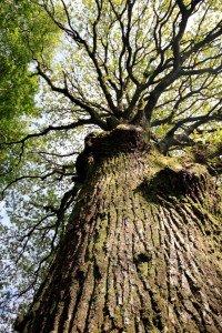 El tema del Día de la Tierra de este año es el árbos.  Este viejo roble se mantiene firme en un pequeño pueblo en Wicklow en Irlanda. Foto de: C Devitt