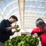 Loyola University Chicago seniors Angelo Kelvakis (left) and Xinran Liang work to remove aphids from basil plants grown in the aquaponics system in the IES greenhouse on the Lake Shore Campus on Tuesday, March 20, 2018. Lettuce and basil are both grown using the aquaponics system and are then sold at local farmer's markets or to local vendors. (Photo: Lukas Keapproth)